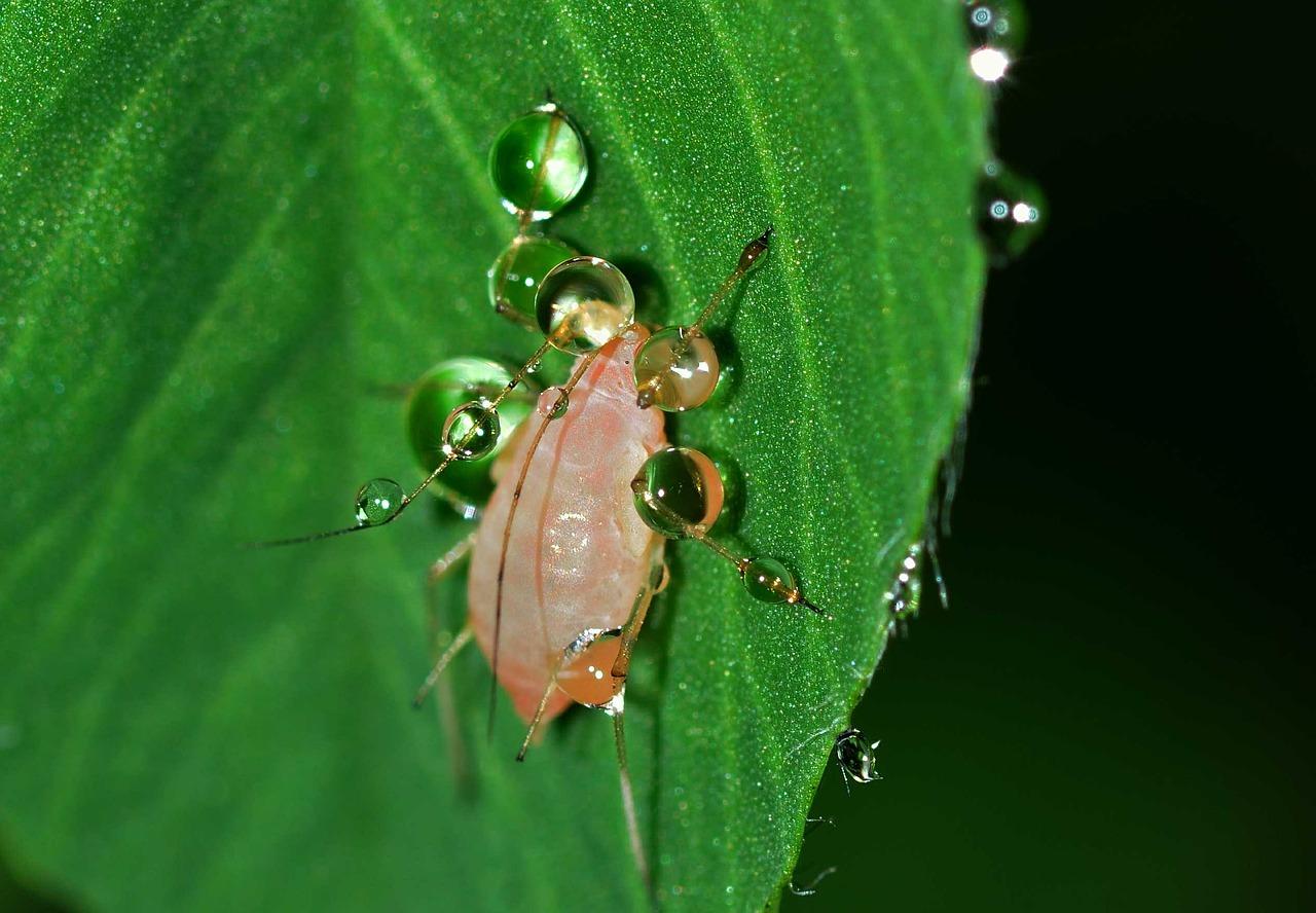 Op een natuurlijke manier de strijd aan met de bladluis!